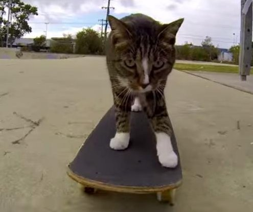 Skateboarding cat shreds at Australian skate park