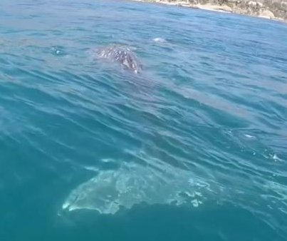 Paddleboarders visited by curious humpback whales off California coast