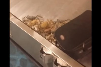 Crabs scuttle for freedom at airport baggage claim