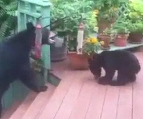 Unexpected bears raid bird feeders on man's garden deck