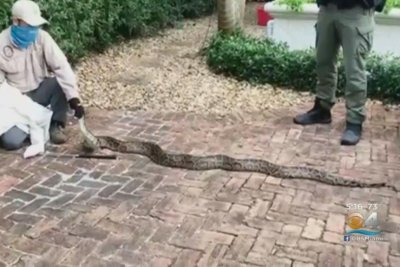 Watch:-Large-Burmese-python-removed-from-family's-driveway