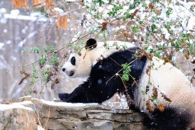 National Zoo panda likely pregnant: Apparent fetus found on ultrasound