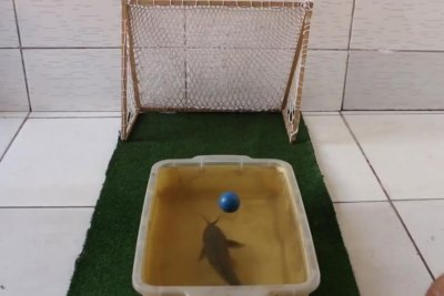 Pet fish flaunts serious soccer skills in viral video