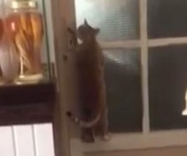 Clever cat opens owner's bedroom door without help