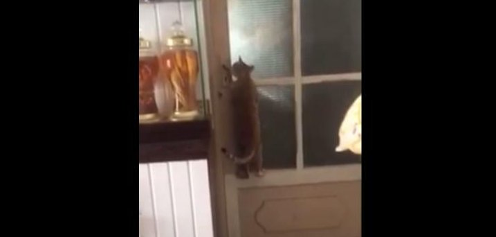 cat bedroom.  Watch Cat climbs on door operates handle UPI com