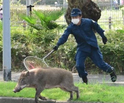 Wild boar leads police on hours-long chase through city