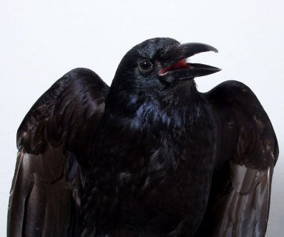 Scientists observe conscious processes in crow brains