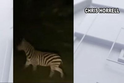 Another Maryland resident spots zebra on the loose