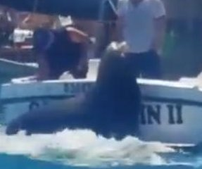 Sea lions jump on boat to demand fish in Mexico