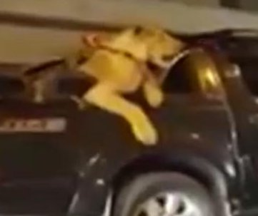 Man facing charges after taking lion for pickup truck ride