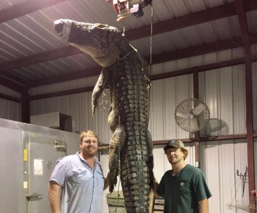Arkansas alligator hunters bag 525-pound reptile