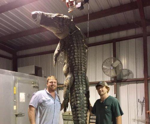 Arkansas alligator hunters bag 525-pound reptile