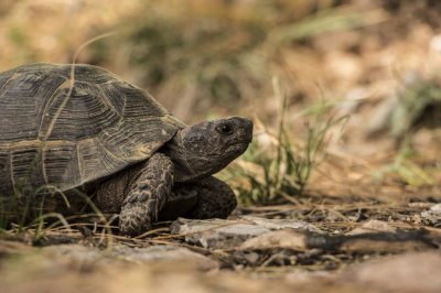 Slow, steady tortoise beats speedy hare in real life, study shows