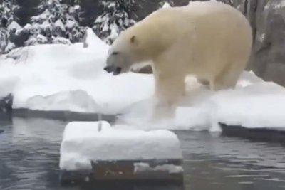 Watch: Buffalo Zoo polar bear frolics after winter storm