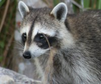 Reported burglary in California was a dozen fighting raccoons