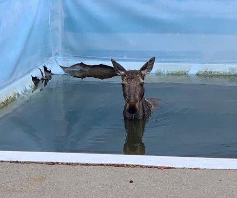 Moose rescued from backyard pool in Ontario