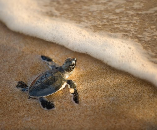 Young sea turtles don't just drift, they swim