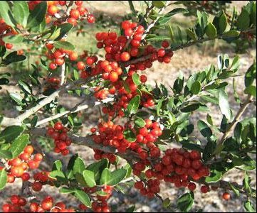 Native American yaupon shrub gets new attention as caffeine source