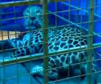 Wayward leopard rescued from bottom of well
