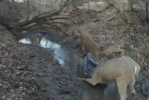 Watch: Game warden uses marksmanship to rescue deer with locked antlers