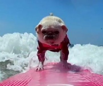 Surfing pug rides the waves at San Diego beach