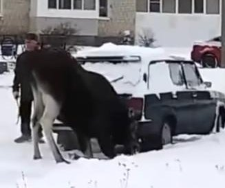 Exhaust-loving moose huffs gas from back of car while man brushes off snow