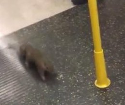 Commuting squirrel causes chaos on London Underground train