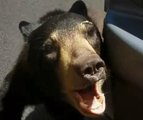 Kentucky driver nearly attacked by bear