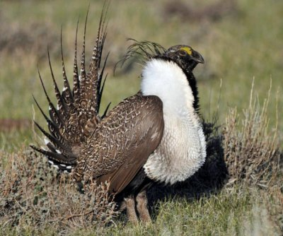 U.S.: Bi-state sage grouse not eligible for 'threatened' status