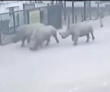 Snoozing zoo guard allows three rhinos to escape