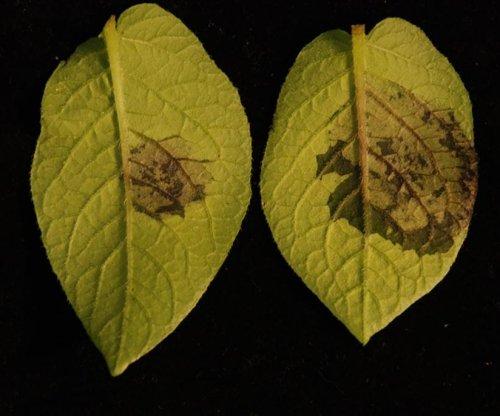 Worm 'scent' triggers plant defenses