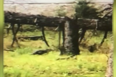 Jersey gator caught on video, eludes capture