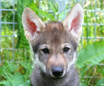 Wolf puppies unexpectedly play fetch with researchers