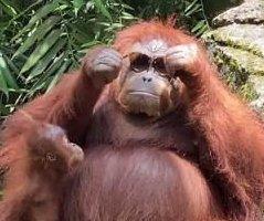 Orangutan dons zoo visitor's dropped sunglasses
