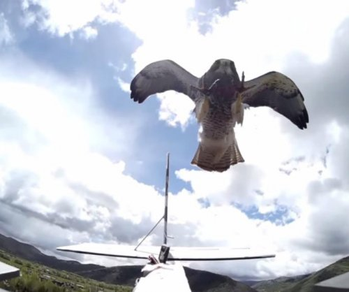 RC plane cameras catch dive-bombing hawk