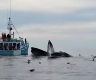 Tour boat trades food for humpback show in Nova Scotia