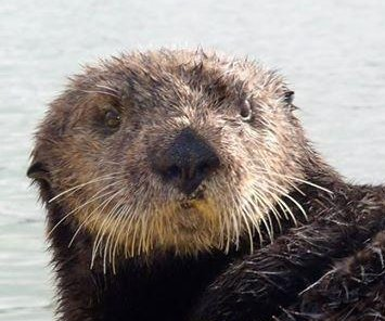 Massive sea otter jumps into California man's kayak on his birthday