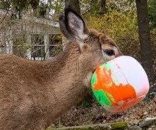Deer rescued from plastic Halloween bucket in New York state