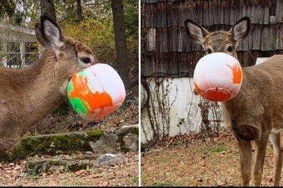Deer rescued from plastic Halloween bucket in New York state