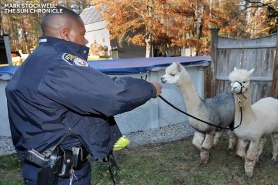 Police round up herd of escaped alpacas in Massachusetts