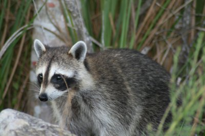 Raccoons in Ontario neighborhood getting drunk off fermented fruit
