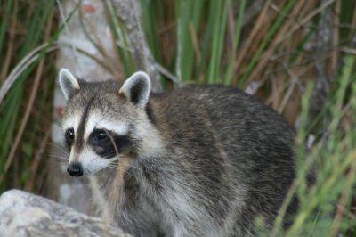 Raccoons in Ontario neighborhood getting drunk off fermented fruit