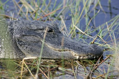Alligators not picky eaters