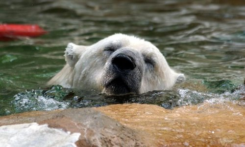 Argentines start petition to save depressed polar bear