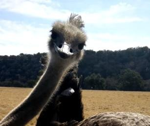 Ostrich steals phone from visitor to Texas safari park