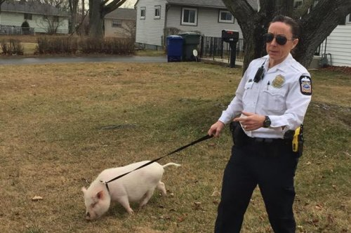 Escaped pot-bellied pig sent home by Ohio police