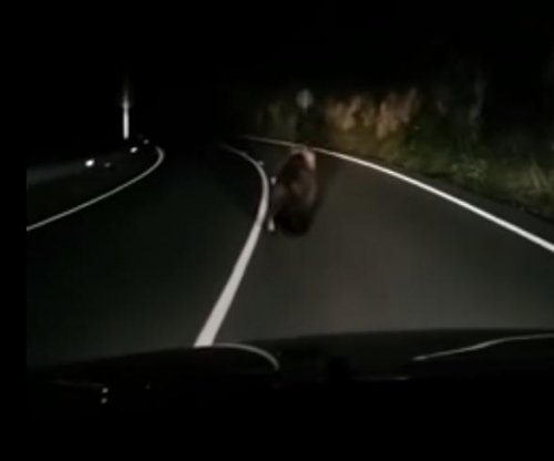 Spanish motorist captures video of road-running brown bear