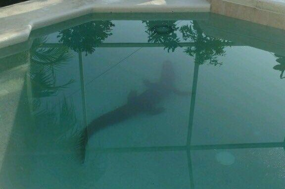 Look Sheriff Busts Alligator Swimming In Resident 39 S Pool