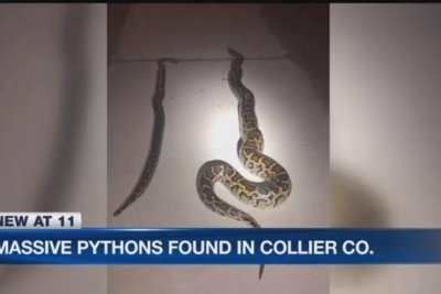 Florida couple find two massive snakes at side of the road