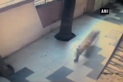 Leopard captured after wandering into residential area